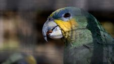 A Parrot In Cage Royalty Free Stock Photography