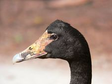 Free A Magpie Goose Royalty Free Stock Images - 3588689