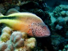 Free Freckled Hawkfish Royalty Free Stock Photos - 3588848