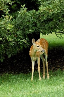 Free Fawns New Legs Royalty Free Stock Photo - 3589305