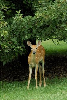 Free Fawn Standing Stock Photography - 3589312