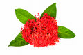 Free Red Rubiaceae Flower Royalty Free Stock Image - 35801666