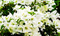 Free White Bougainvillea Flower On Nature Stock Photo - 35801690