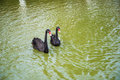 Free Black Swans Royalty Free Stock Photo - 35802265