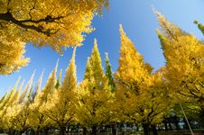 Free The Ginkgo Trees Against Blue Sky Royalty Free Stock Images - 35804209