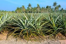 Free Pineapple Field Royalty Free Stock Photography - 35806497