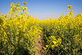 Free Flowering Rapeseed Field Stock Images - 35812684