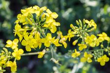 Free Rapeseed Flower Royalty Free Stock Photo - 35812765