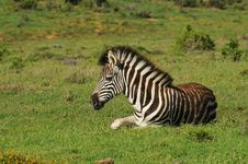 Free Burchell S Zebra Resting Royalty Free Stock Images - 35814489