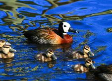 Free Mother Duck With Ducklings Royalty Free Stock Photography - 35814707