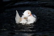 White Duck Splashing Stock Photography