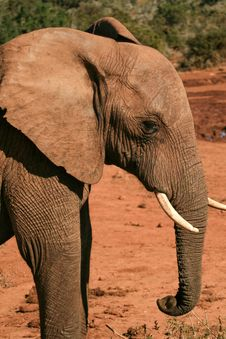 Free Elephant In Red Dust Royalty Free Stock Image - 35815846