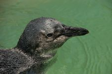 Free Juvenile African Penguin Close Up Royalty Free Stock Photos - 35816058
