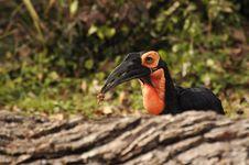 Free Large Black And Orange Bird Royalty Free Stock Photography - 35826107