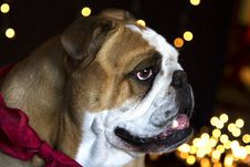 Free Bulldog Waiting For Santa Clause Royalty Free Stock Photos - 35827118