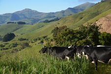 Free Cows Appreciating A Spectacular View Of Akaroa Harbour Royalty Free Stock Photos - 35827788
