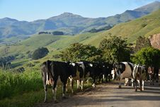 Free Herd Of Cows In The Hills Above Akaroa Harbour, New Zealand. Royalty Free Stock Photo - 35827815