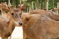 Free Roe Deer Doe Royalty Free Stock Photo - 35829595