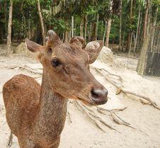 Free Roe Deer Doe Royalty Free Stock Photography - 35829607