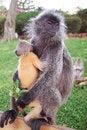 Free Monkey Royalty Free Stock Photo - 35830135