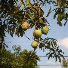Mango Tree Royalty Free Stock Photography