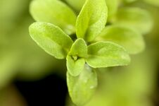 Free Corsican Mint Leaves Royalty Free Stock Image - 35832426
