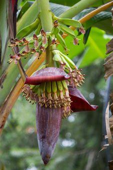 Free Banana Tree With Fruit Stock Image - 35833821