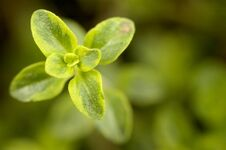 Free Caraway Thyme Growth Point Close-up Royalty Free Stock Photo - 35834225