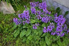 Free Salvia Viridis - Sage Green Stock Photos - 35835133