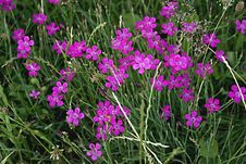 Free Dianthus Deltoides Stock Photo - 35838730