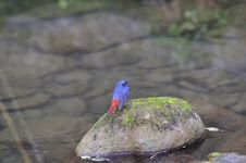 Free Plumbeous Water Redstart Royalty Free Stock Photos - 35839488