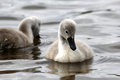 Free Pair Of Cygnets Stock Image - 35843891