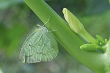 Free Common Emigrant Butterfly On Papaya Tree. Stock Photo - 35842000