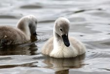 Pair Of Cygnets Stock Image