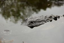 Free American Alligator Royalty Free Stock Photography - 35845817