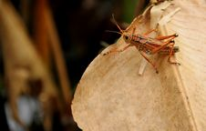 Free Lubber Grasshopper Royalty Free Stock Image - 35845856