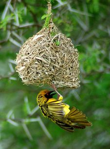 Free Yellow Weaver Bird On Nest Stock Images - 35846524