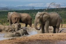 Elephants Swim & Spray Mud Royalty Free Stock Images