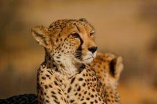 Free Cheetah Close Up Stock Image - 35846981