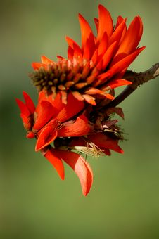 Free Red Flower Of A Coral Tree Stock Images - 35847034