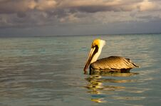 Free Pelican In The Sea Stock Photography - 35849632