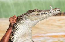 Free Crocodile Royalty Free Stock Photography - 35850267