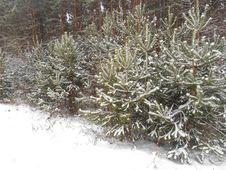 Free Christmas Trees Under The Snow Stock Photo - 35857180