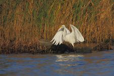Great Egret &x28;Ardea Alba&x29;. Royalty Free Stock Photo