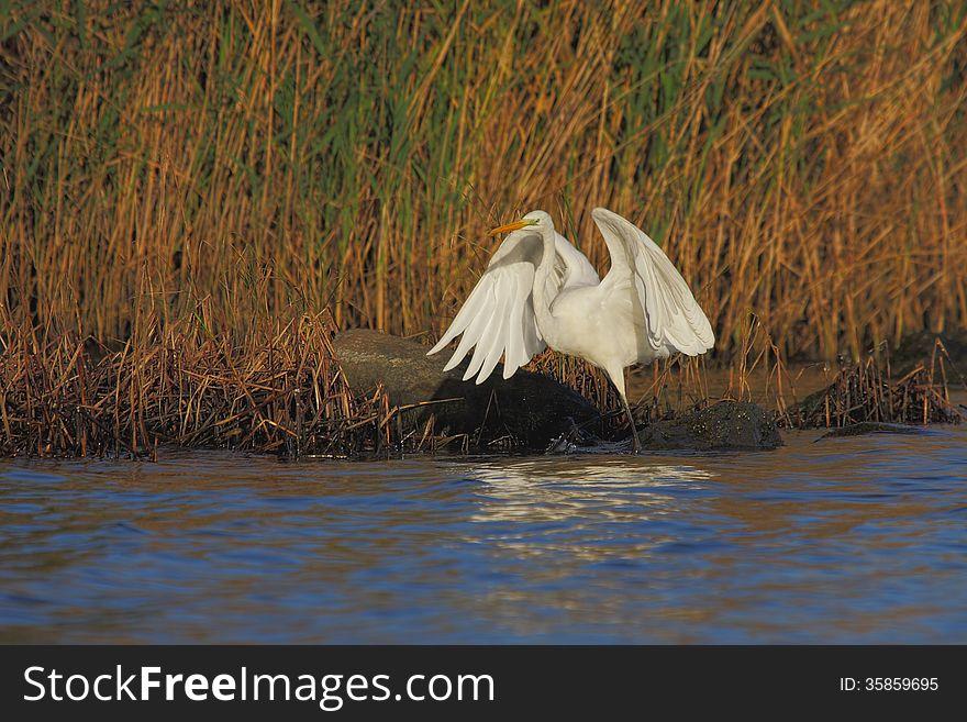 Great Egret &x28;Ardea alba&x29;.