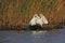 Free Great Egret &x28;Ardea Alba&x29;. Royalty Free Stock Photo - 35859695