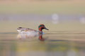 Free Green-winged Teal &x28;Anas Carolinensis&x29; Or &x28;Anas Cre Stock Photos - 35868233