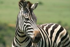 Free Burchell S Zebra Stock Image - 35862471