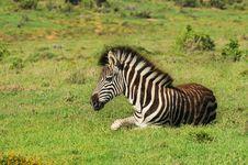 Free Baby Zebra Stock Photos - 35862513