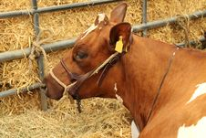 Brown Cow. Royalty Free Stock Photography